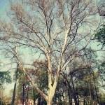 Parcul Carol platan mare
