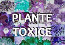 Cele Mai Periculoase 10 Plante Toxice din Casele Noastre
